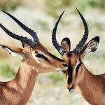 Zwei Impala Antilopen, die sich putzen