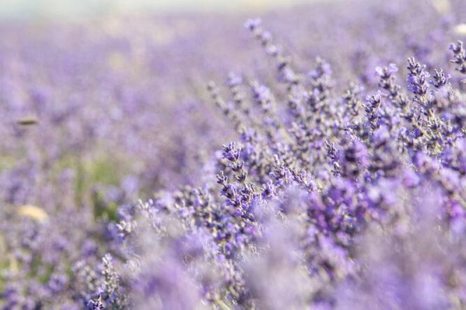 Fokusbild eines Lavendels in einem Lavendelfeld. Hell lila