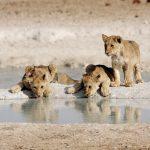 Drei Löwenjunge an einem Wasserloch