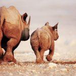 Zwei NAshörner von hinten, eine Mutter mit ihrem Jungen