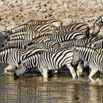 Viele Zebras an einem Waserloch