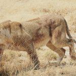 Löwe -Panthera leo-