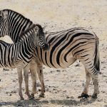 Burchells Steppenzebra -Equus burchellii-