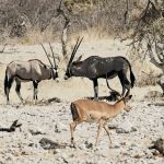 Zwei Oryx Antilopen und ein Schwarznasenimpalabock