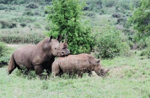 Rhino Mama mit Kind, Südafrika