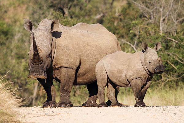Nashornmutter mit Jungem im Krüger Nationalpark, Südafrika