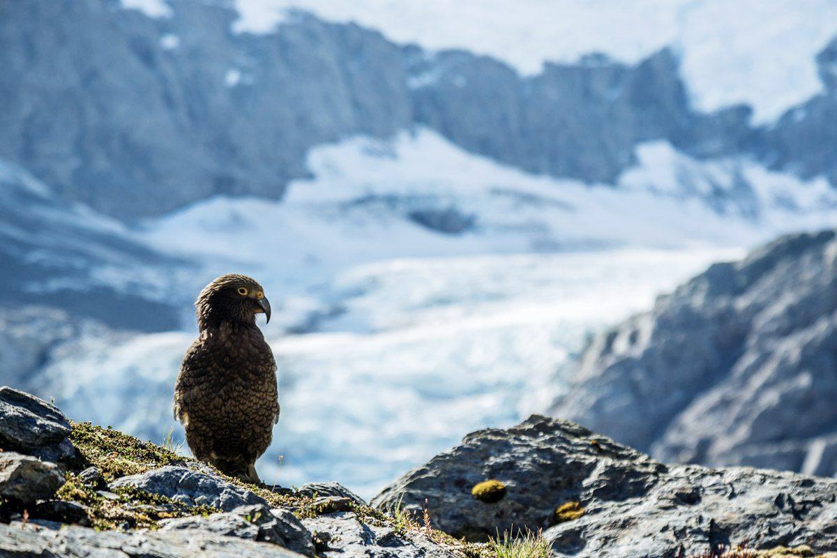 Kea Vogel auf Fels vor Schnee