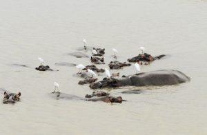 Nilpferde beim Baden, Südafrika