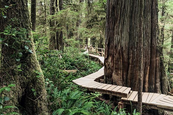 Sitka Fichten am Plankenweg im Pacific Rim Nationalpark, Kanada