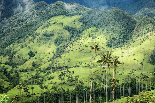 Palmen im Cocora Valley, Kolumbien