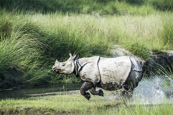 Panzernashorn im Chitwan Nationalpark, Nepal