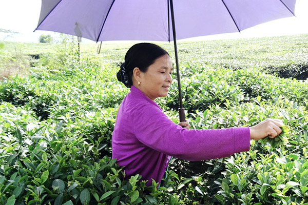 Frau beim Teeblätter pflücken, Vietnam