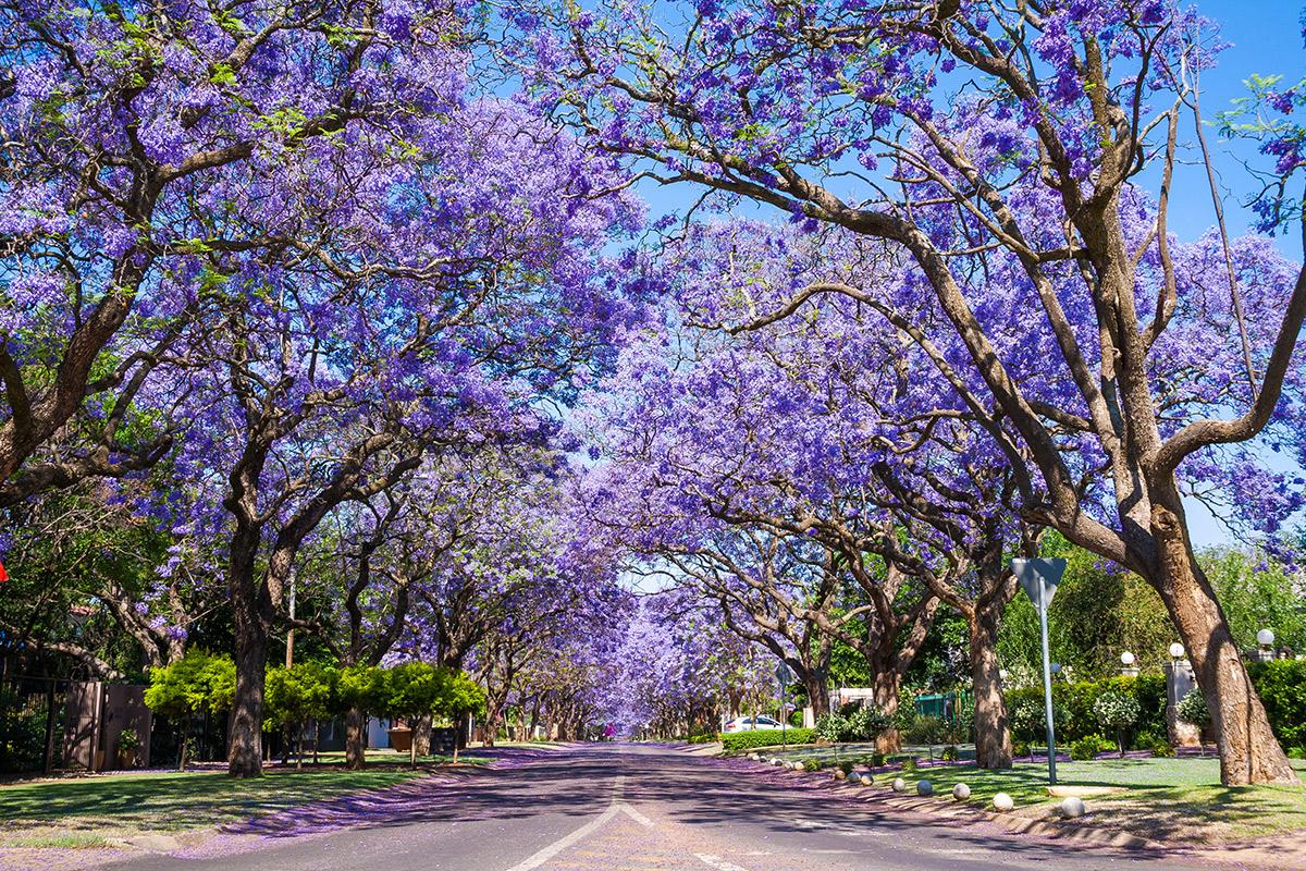 Straße mit blühenden Jacarandabäumen in Pretoria