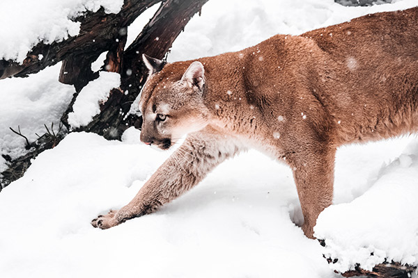 Puma im Winter, Kanada
