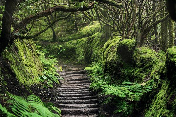 Fayal-Brezal Wald auf Teneriffa