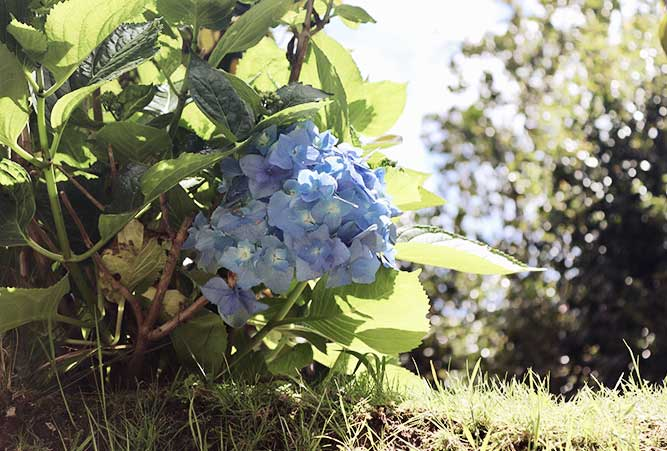 reisebericht-azoren-hortensienbluete