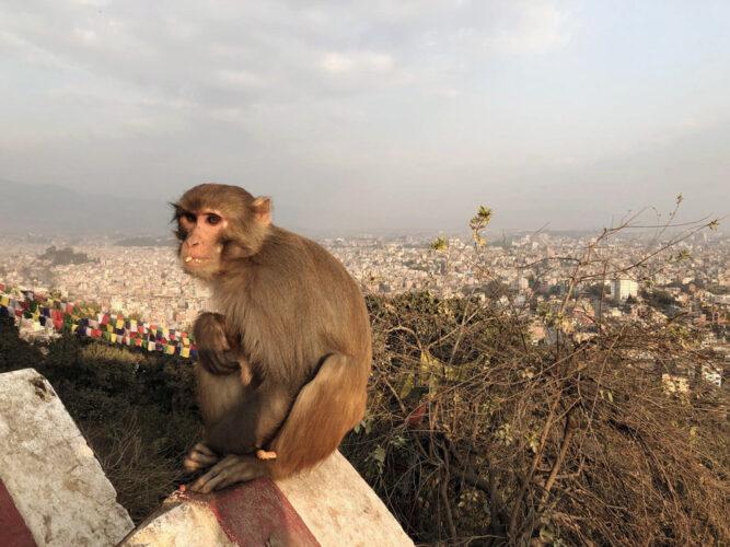 Kleiner brauner Affe auf einer Mauer über der Stadt