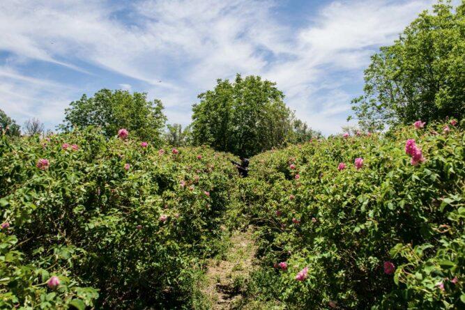 Rosenfarm in der Nähe von Kelâa M'Gouna, Marokko