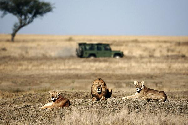 Löwen in Savannenlandschaft