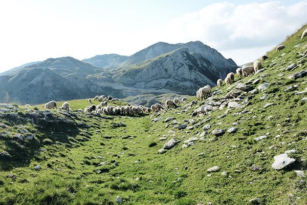 Schafe, Via Dinarica Bosnien