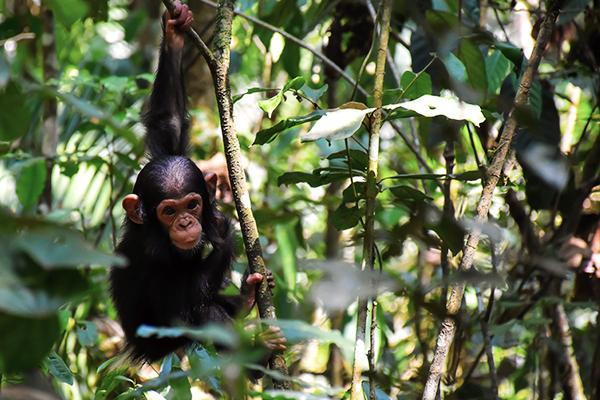 schimpanse-kibale-nationalpark-uganda
