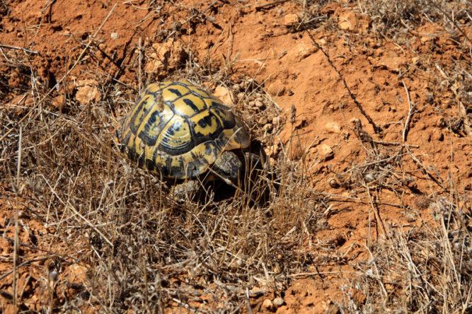Eine kleine Schildkröte mit einem gelb und schwarz gemusterten Panzer. Sie sitzt in trockenem Gras auf sandigem Untergrund