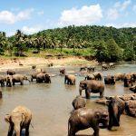 Elefantenherde in einem trüben Gewässer, grüner Wald im Hintergrund
