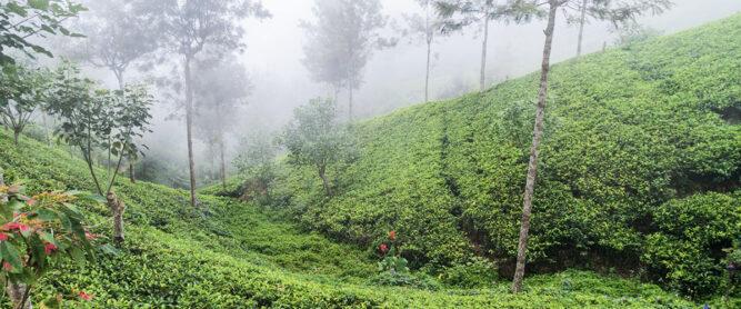 Grüne Teeplantage mit Nebel