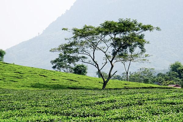 Fleißig bei der Ernte auf der Teeplantage