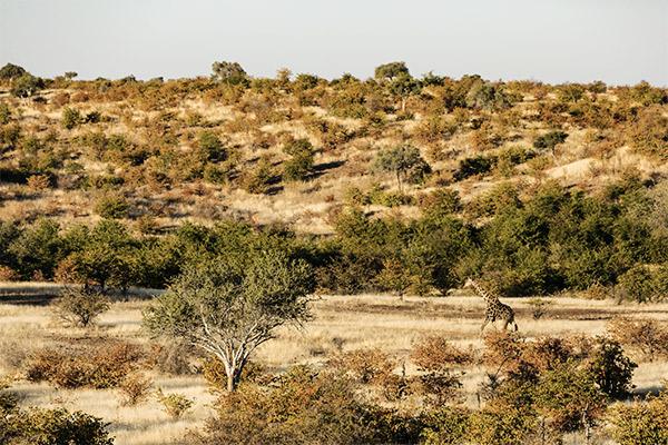 Giraffe im Tuli Block, Botswana
