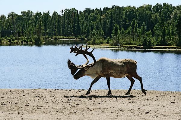 Waldkaribu in Kanada