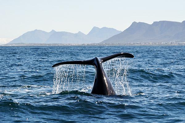 Walflosse an der Küste Südafrikas