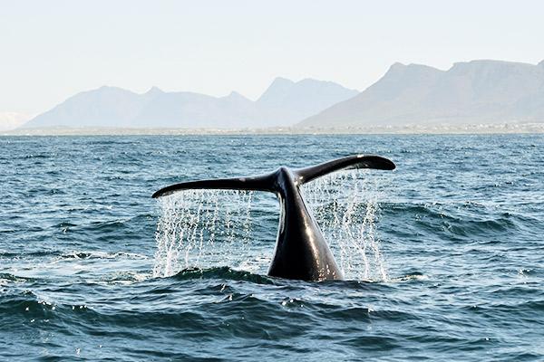 Delfinflosse im Meer, Hermanus Suedafrika