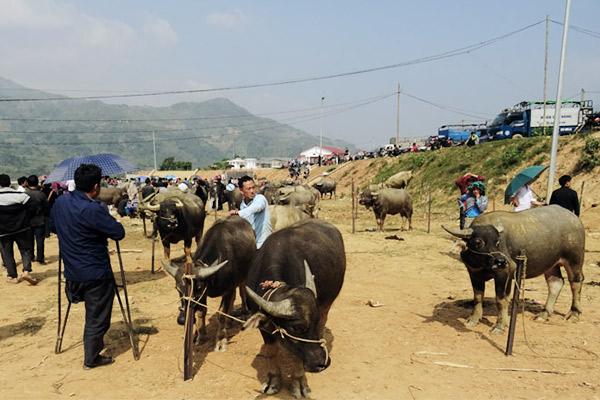 Wasserbüffel am Bauernmarkt