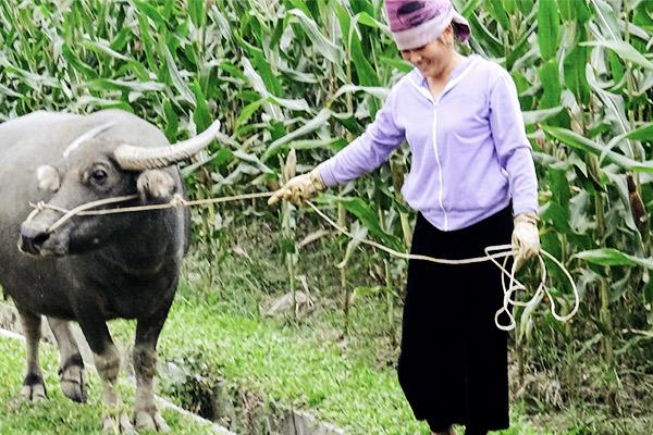 Wasserbüffel an Leine, Vietnam