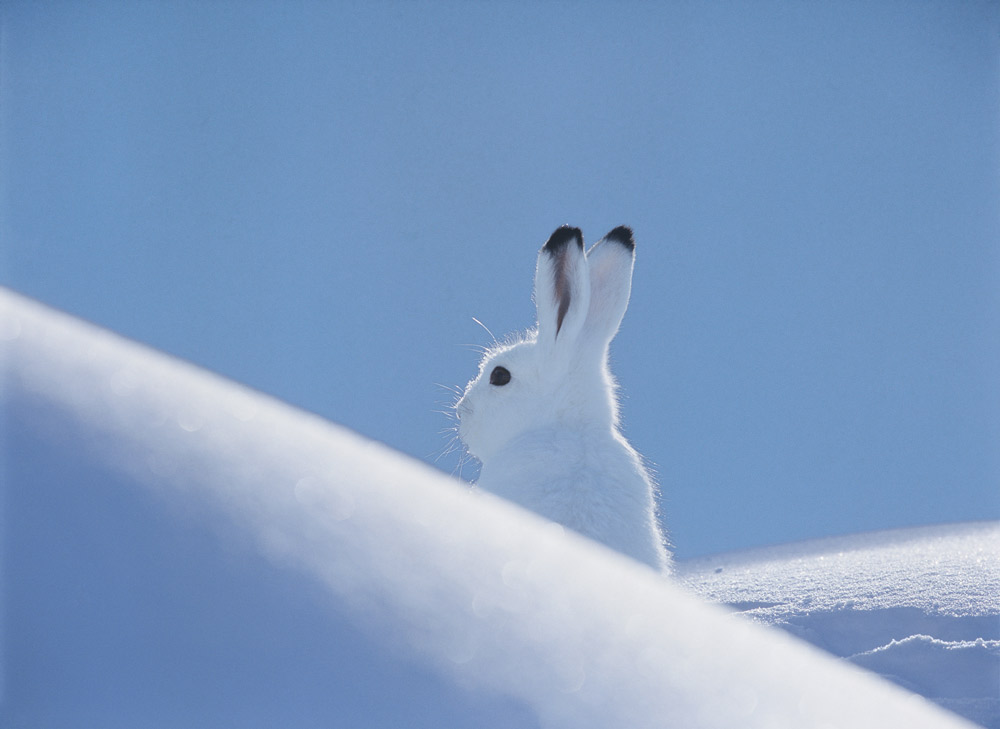 Schneehase im Schnee