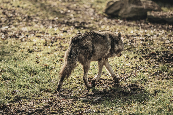 wolf-nationalpark-schweiz