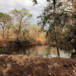 Zebras beim Durst löschen, Kruger Nationalpark