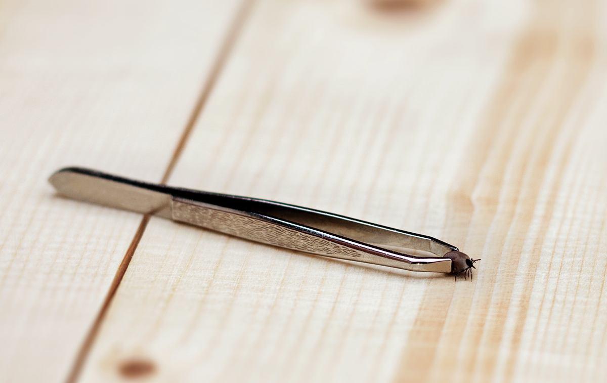 Metallpinzette mit Zecke